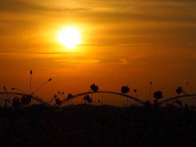 吹上コスモス畑のコスモスと夕日